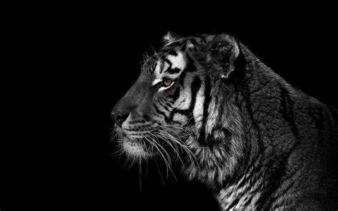 tiger wallpaper black and white hd black and white tiger wallpapers 44 wallpapers