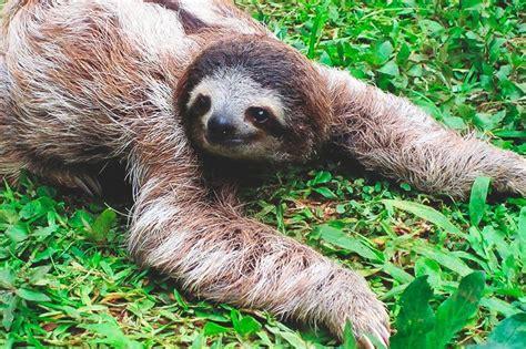 imagenes de animales lentos 191 d 243 nde vive el perezoso