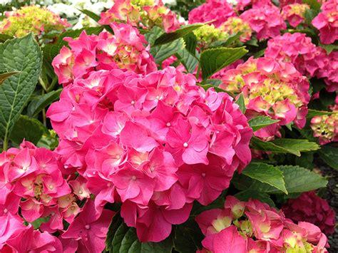 flowering shrubs for shaded areas masja hydrangea