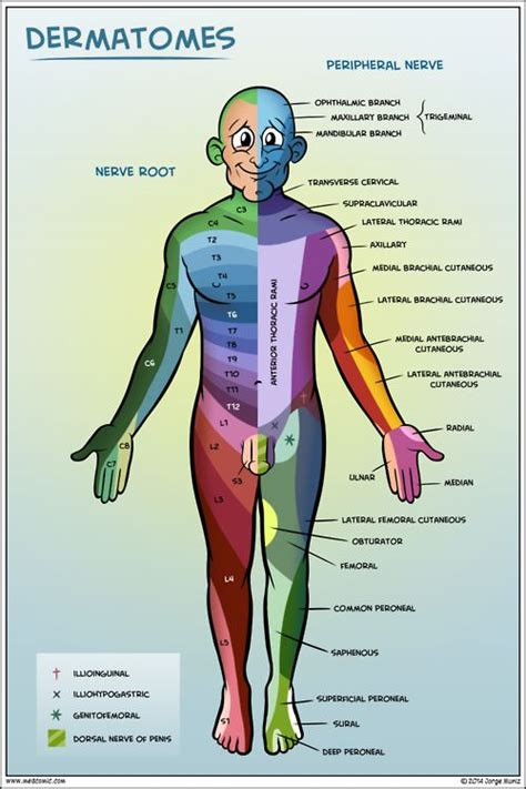 dermatomes map pin dermatome map shingles image search results on