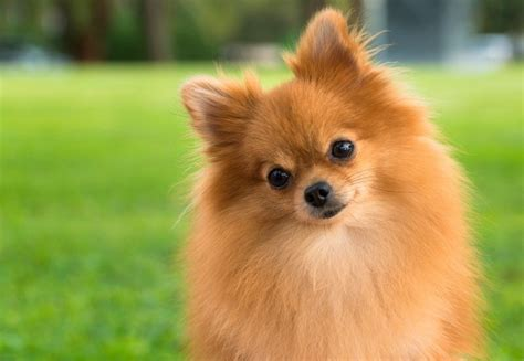 pomeranian house pomeranian breed information and photos thriftyfun