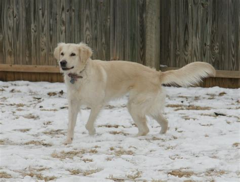 golden retriever rescue oklahoma golden retriever breeders oklahoma dogs our friends photo