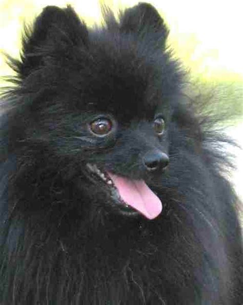 puppy pomeranian black 35 most awesome black pomeranian pictures and images