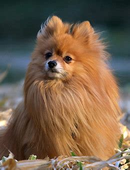 pomeranian clothes pomeranian clothes by breeds
