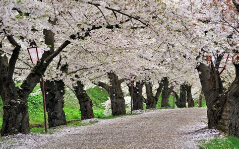 cherry blossom trees road path trail hd wallpaper nature and landscape wallpaper better