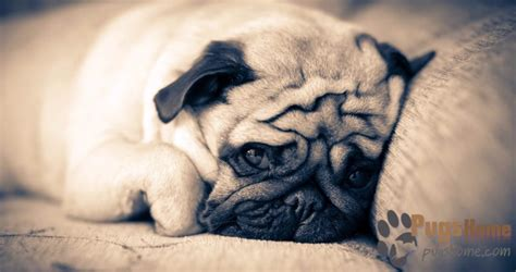 pug breeders in michigan searching pugs for sale in michigan the complete guide