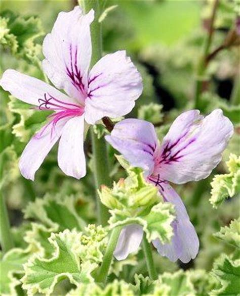 best 25 scented geranium ideas on pinterest drawer fragrance sachets plants indoor and