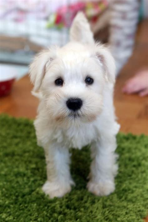 white schnauzer puppies 25 best ideas about white miniature schnauzer on schnauzer puppies mini