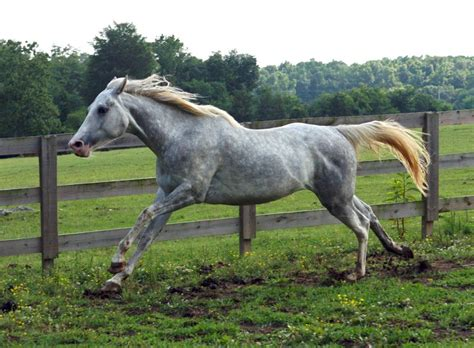 fjord horse facts dapple gray paint 3 by venomxbaby on deviantart