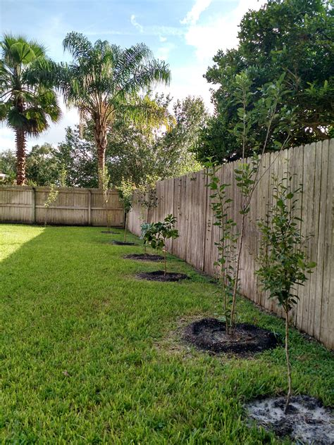 fruit trees backyard my backyard florida quot orchard quot apple pear and citrus
