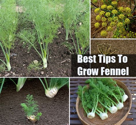tips to grow hard to propagate plants how to grow fennel diycozyworld home improvement and