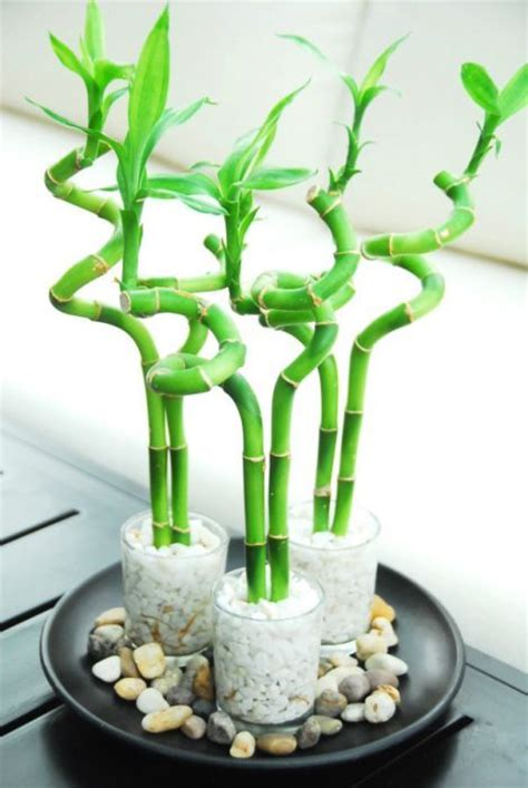 lucky bamboo zen garden plant decor torontos indoor