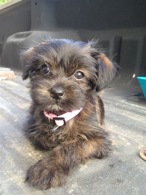 shorkie puppies shorkie puppies i want one