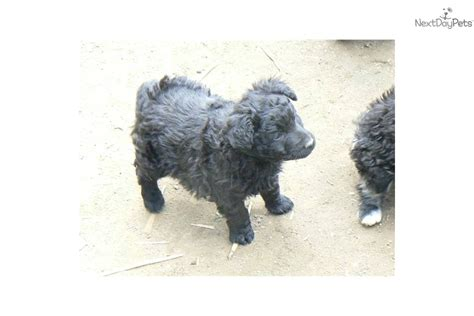 mudi puppies for sale mudi puppy for sale near budapest hungary bd565881 8dc1