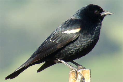 tricolored blackbird agelaius tricolor flickr photo