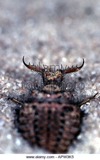 doodlebug in larval stage antlion stock photos antlion stock images alamy