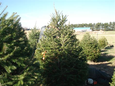 springfield illinois christmas trees cassens trees and crafts springfield il