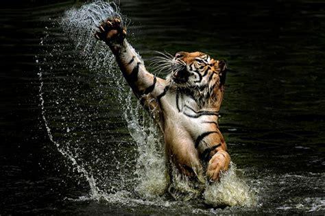 imagenes tumblr de tigres impresionantes e incre 237 bles imagenes de tigres taringa