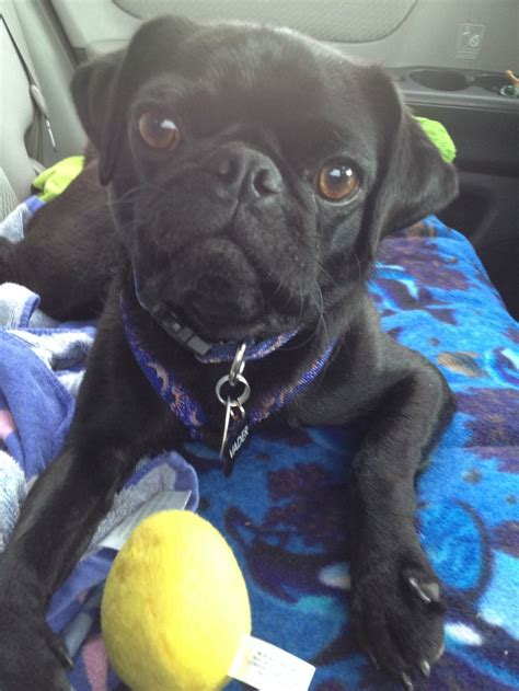 pug planet pug rescue 17 best images about pugs puggles on puppys bullies and pet