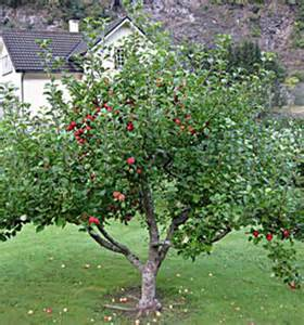 Patio Apple Tree by Garden Delicious Apple Dwarf Apple Tree Willis Orchards