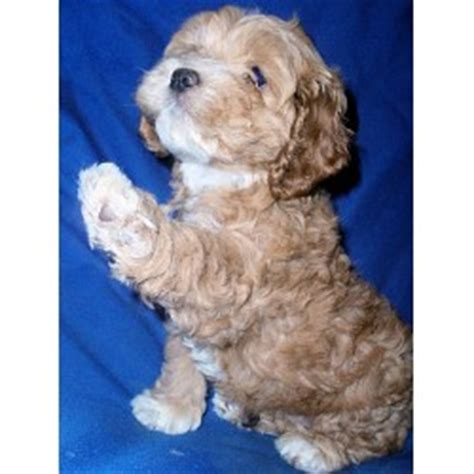 cockapoo puppies for sale in florida cockapoo breeders in florida freedoglistings