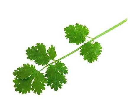 coriander cilantro fresh cilantro nutrition information eat this much