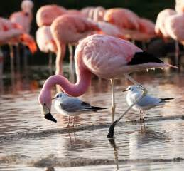 how do flamingos get their pink color staging your home pink flamingos not included