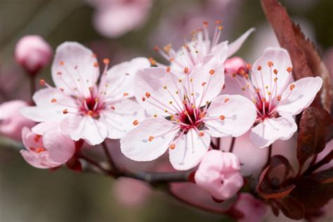 what does a cherry blossom tree symbolize choice image symbol and sign ideas what does a cherry blossom tree symbolize images symbol