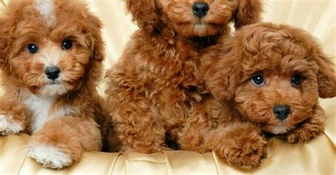 brown maltipoo puppies maltipoo puppies puppies brown and animal