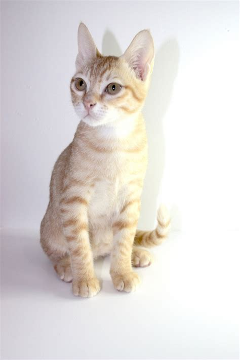 Arabian Mau Cat Info, Personality, Kittens, Pictures