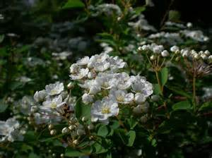 more flowering shrubs muddled blog
