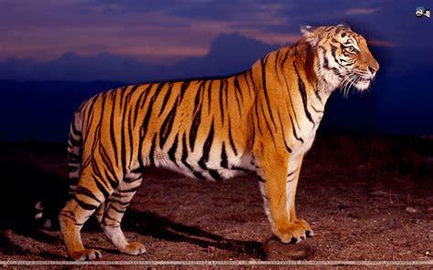 cat ka wallpaper mumaah tiger jangal ka sher animals cats