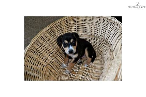australian shepherd husky mix puppies for adoption australian shepherd puppy for adoption near 3d790702 4fe2