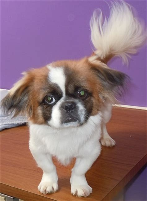 spaniel pug mix arthur cavalier king charles spaniel humane society of dallas county