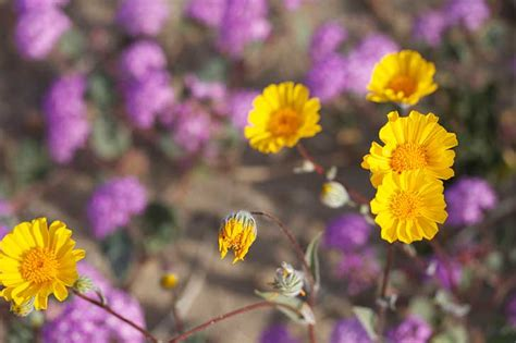 borrego desert flowers flower fields to visit in spring the chocolate voice