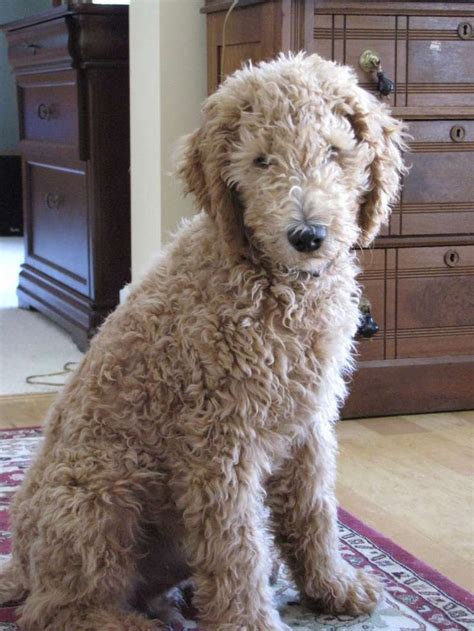 teddy grown the gallery for gt mini f1b goldendoodle