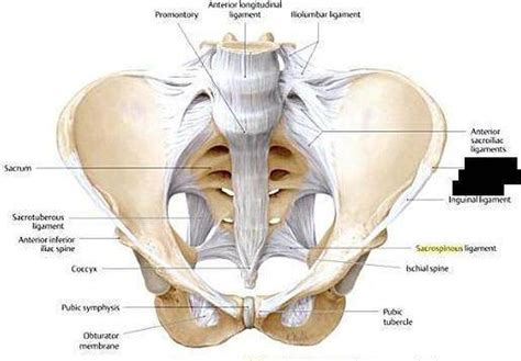 Interosseous Sacroiliac Ligament Diagram