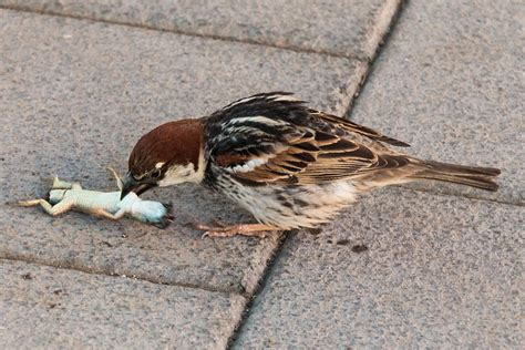 sparrow eating lizard photograph by salvatore pappalardo