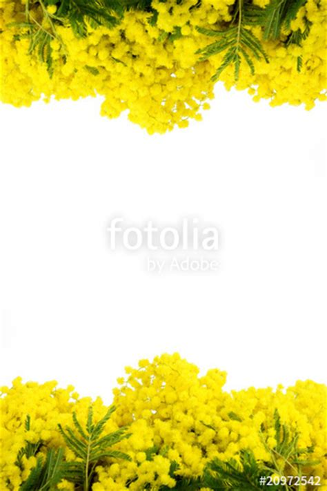 cornice x foto gratis quot mimosa cornice quot immagini e fotografie royalty free su