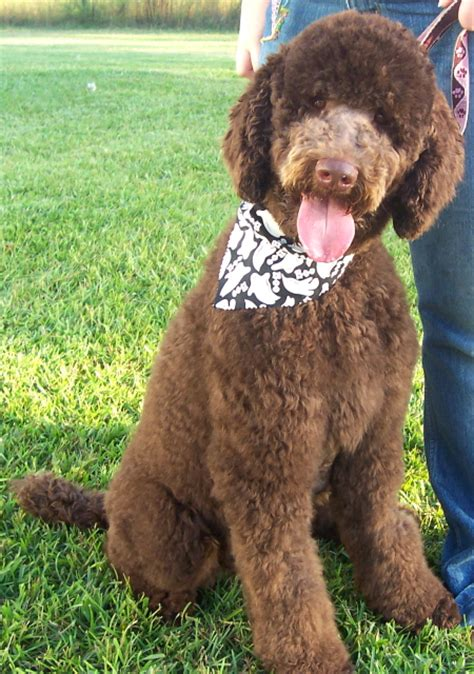 poodle puppies for sale in nc standard size poodles for sale in nc dogs our friends photo