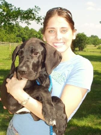 Danes Has A New by Great Dane Great Dane Puppies Breezy Acres Great Danes
