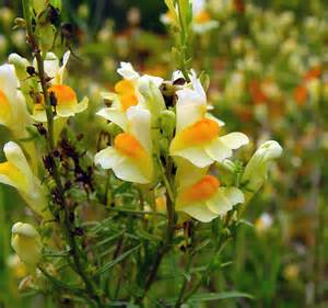 Snapdragon Flowers Linaria Vulgaris Butter And Eggs Toadflax Go Botany