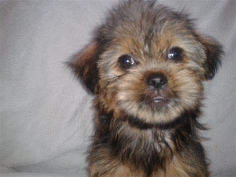 shih tzu and yorkie mix puppies yorkie shih tzu chihuahua mix breeds picture
