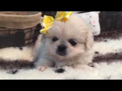 pekingese puppies for sale in florida betty pekingese puppy for sale near west palm florida 78cf018a 68a1