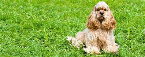 Cocker Spaniel Shedding Information by Cocker Spaniel Facts Pictures Puppies