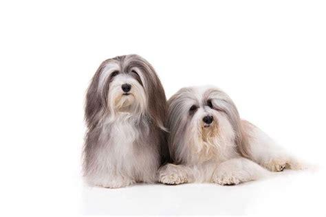 www havanese org 6 reasons why we the havanese breed american kennel club