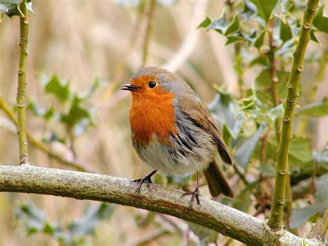 free photo robin bird wildlife wild free image on