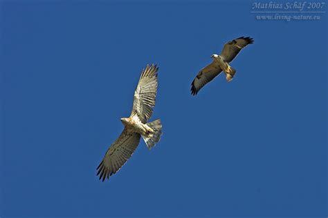 Design For Living Schlangenadler Short Toed Eagle Circaetus Gallicus