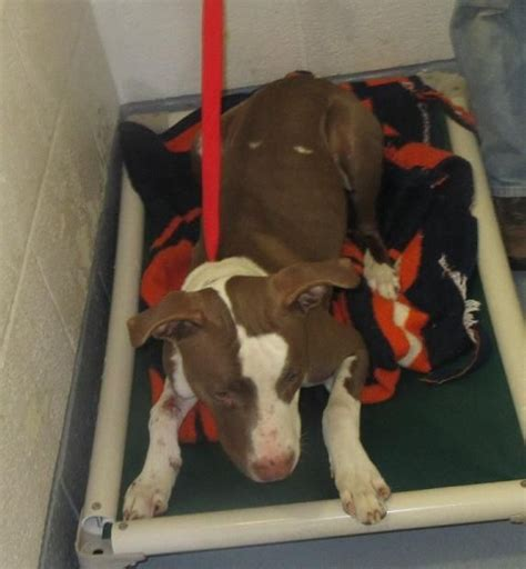 portage county warden 1000 ideas about terrier mix on pit bull mix dogs for adoption and