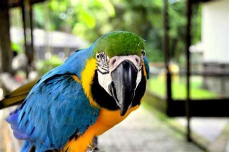 talking parrot picture of penang bird park perai tripadvisor